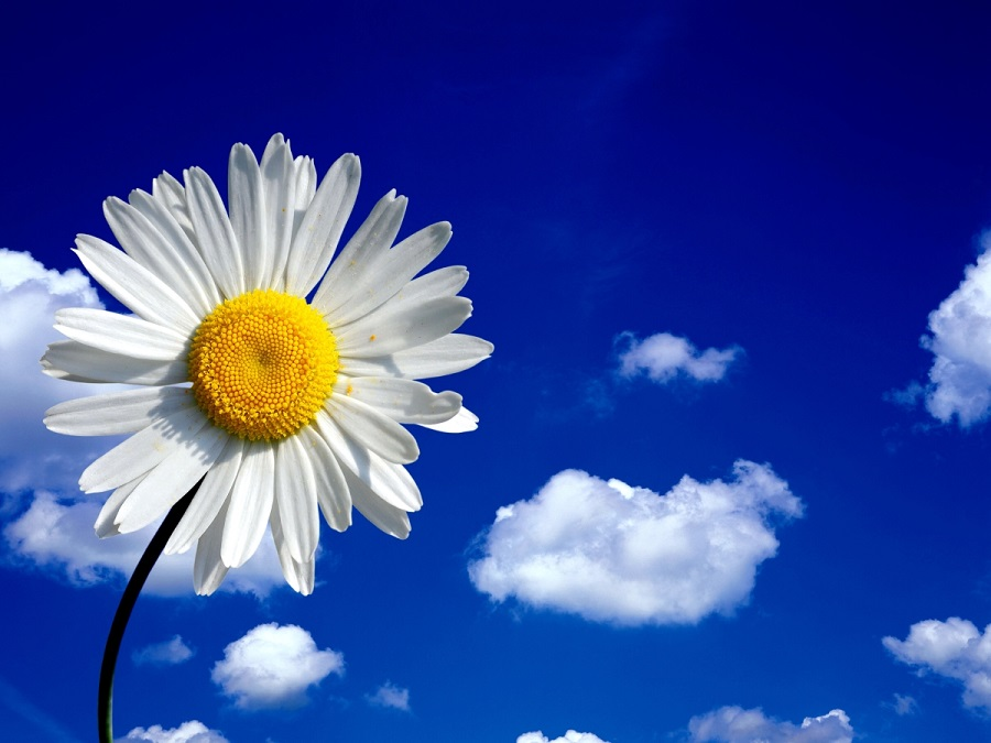 Blue sky with cloud and daisy